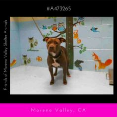 CASSIE #A473265 (Moreno Valley CA) Female blue and white Pit Bull Terrier mix. The shelter thinks I am about 2 years. I have been at the shelter since May 10 2017 and I may be available for adoption on May 17 2017 at 5:12PM.  http://ift.tt/2r04En5  Moreno Valley Animal Shelter at (951) 413-3790 Ask for information about animal ID number A473265 #Adoptdontshop #Adoptdontshopcalifornia #morenovalley #californiashelterdogs #dogsofinstagram #savealifeadopt #savealifeadoptapet #fosteradog…