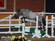 Norwegian Fjord horse stallion Hangvar Kyr