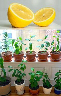 Want beautiful & FREE garden & indoor plants? Regrow kitchen scraps like mango seed, avocado pit, pineapple top, lemon s How To Regrow Pineapple, Planting Pineapple Top, Indoor Garden, Indoor Plants, Home And Garden, Container Gardening, Gardening Tips, Plants Grown In Water, How To Grow Lemon