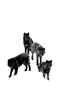 Dope…Black Wolves by Jim Cumming
