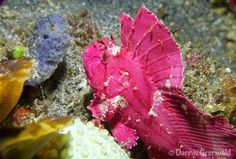 Purple Scorpion leaf fish