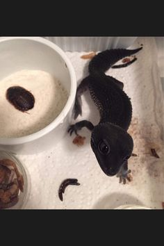 Black gecko - so cute looks like a little dragon!