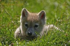 wolf cubs - Google Search