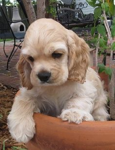 Cocker Spaniels are so cute! I want one :)
