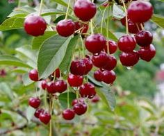 Cerisier : plantation, taille et conseils d'entretien