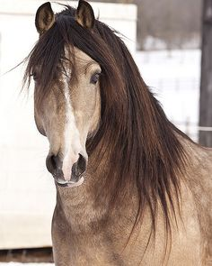 Midas - welsh cob stallion