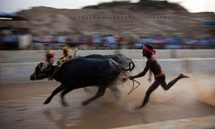 KAMBALA- The race of buffaloes  #India #IncredibleIndia  #PrabhuShankar #Culture #Heritage #Travel #Kambala #Buffaloes #Race #Malnad #Mangalore