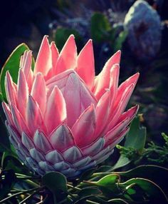 Protea Art, Protea Flower, My Flower, King Protea, Decoupage Paper, Painting Inspiration, Planting Flowers, South Africa, Succulents
