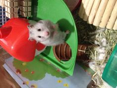 hamster Cute Hamsters, Good Buddy, Little Pets, I Am Awesome, Sweet, Animals, Candy, Animaux, Animal