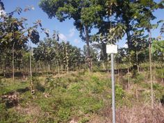 Teakplantation, including land and business, for sale! The farm is located in  Toledo, Belize.