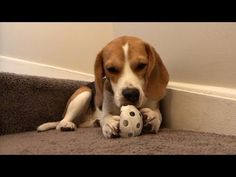 Oliver The Beagle Plays with his ball On YouTube Please Subscribe!!