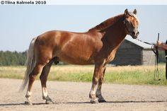 Finnhorse stallion Hilton Hurra