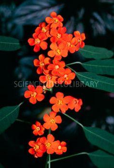 scarlet plume (Euphorbia fulgens - Google Search