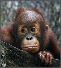 Baby Orangutan | Flickr - Photo Sharing!