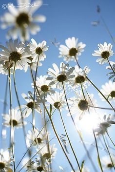 Daisies <3 more like really really pretty. I wish i could take photos like this.