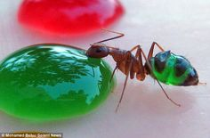 Ants drinking colored liquid.