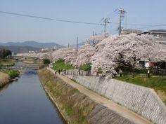 京阪出町柳駅すぐそば、高野川の桜並木。 ここから、5分の場所に、世界遺産の下鴨神社があります。