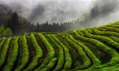 Misty - 운무와 녹차밭 ..  Misty Green tea Field