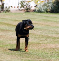 Rottweiler dog photo | Rottweiler Dog Free Stock Photo - Public Domain Pictures