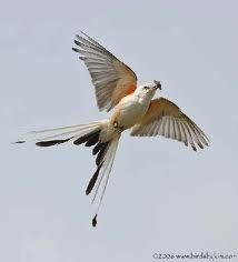 scissor tailed flycatcher - Google Search