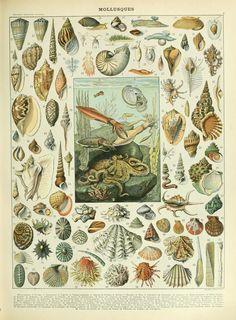 Nouveau Larousse illustré : Mollesques https://www.facebook.com/collages.tristan.olphe