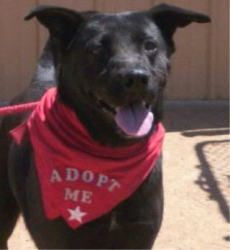 Circle L Sanctuary Ranch - This is Glory, a female lab. Her owners moved and left her tied to a tree. Do you have a space in your heart for her?