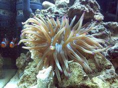 Anemone di mare.