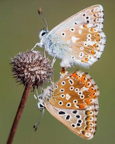 530 отметок «Нравится», 9 комментариев — Adam Gor (@goradam) в Instagram: «#polyommatus #coridon #butterfly #kelebek #lepidoptera #insect #lycaenidae #art #nature #macro…»