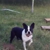 [Video] A Problem Solving Boston Terrier And A Trampoline
