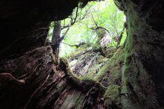 Yakusugi (Cedar). Looking for more information about Kagoshima? Go Visit Kyushu tabi net.  http://www.welcomekyushu.jp/