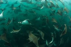 The Mobula Rays of Baja California · Us Swimming, Manta Ray, Cabo San Lucas, Open Water, Baja California, Safari, Wildlife, Tours, Blue