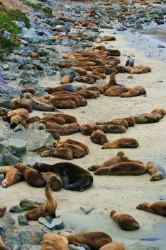 Pacific Grove--Walk or bike along the coastal recreation trail and you will see dozens of seal lions relaxing on the beach and playing in the water!