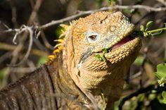 Land Iguana eating/loving life