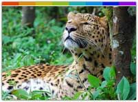 Wildlife Sanctuaries in Sikkim are the homes to its rich flora and fauna. Some of the wildlife sanctuaries in the state are Maenam Wildlife sanctuary, Kanchanjunga National Park, Kyongnosia Alpine Sanctuary and Barsey Rhododendron Wildlife sanctuary.
