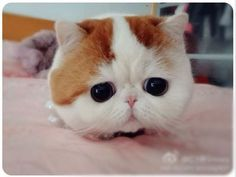 Too cute, almost sad...looks like a cartoon character but this is how the cat actually looks!  Simply adorable!