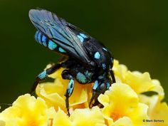 Neon Cuckoo Bee by Mark Berkery - http://beingmark.com/2016/01/03/rare-visitor/