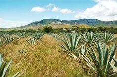 El Mezcal de Oaxaca, tradición y cultura – Los Sabores de México y el mundo