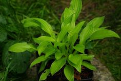 Hosta Kiwi Cream Edge -  medium ordered 2015