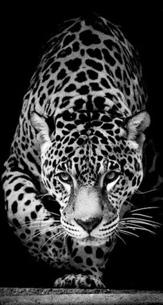 Wild Animal Jaguar