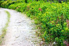 Sentiero attraverso un giovane sottobosco di scotano (cotinus coggygria)