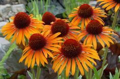 Purple Coneflower 'Flame Thrower' produces two toned orange and gold flowers. Great cut flower. Attracts birds, butterflies and bees.