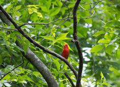 Summer Tanager taken at Devils Kitchen Lake, Crab Orchard National Wildlife Refuge IL