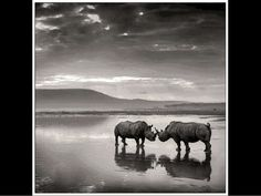 black and white rhinos
