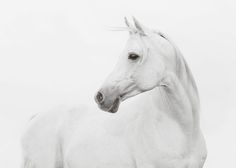 Plakat med hvid hest.
