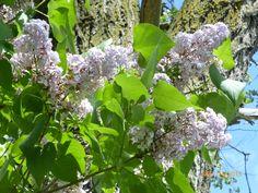 Michigan lilacs