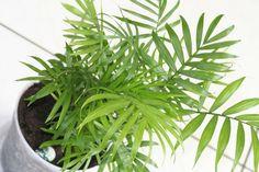 Es una de las más cultivadas como plantas de interior. ¡Será por algo!
