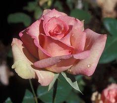 Table Mountain hybrid tea rose - fragrance strong to medium