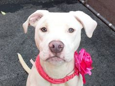 TO BE DESTROYED 8/29/14 Manhattan Center -P My name is MINKA. My Animal ID # is A1010555. I am a spayed female white and brown pit bull mix. The shelter thinks I am about 1 YEAR  **$150 donation to the NEW HOPE RESCUE that pulls. See URGENT for details!** I came in the shelter as a STRAY on 08/14/2014 from NY 10454, owner surrender reason stated was STRAY. https://www.facebook.com/Urgentdeathrowdogs/photos/a.611290788883804.1073741851.152876678058553/856360024376878/?type=3&theater