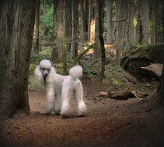 Oh my, so beautiful!! Such poodle love.
