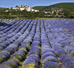 Lavander field in Simiane-la-Rotonde, Provence, France (by dubus regis). Growing Lavender, Lavender Green, Lavander, Lavender Fields, Lavender Flowers, Places To Travel, Places To See, Lavender Wreath, Provence France